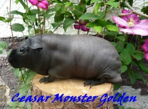 ceasar-monster-golden.jpg